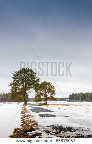 Two Tall Pine Trees On The Fields