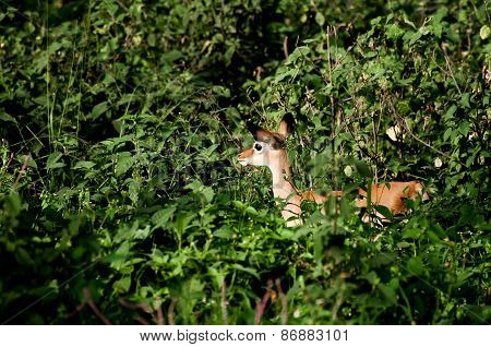 Baby Impala Among Green Bushes