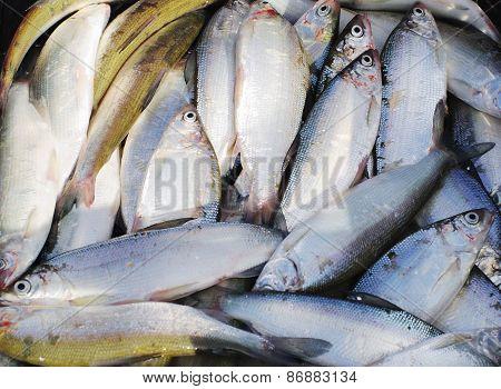 Fish Coregonus