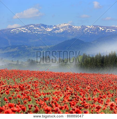 Nice landscape with meadow poppy flowers in mountains at morning time