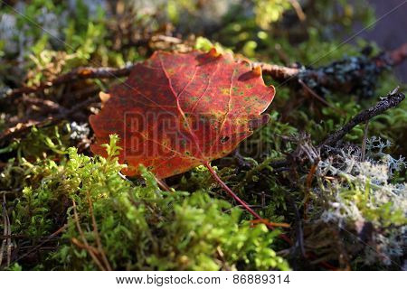 Aspen leaf in the forest, macro