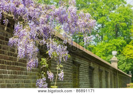 Blooming blue wisteria chinensis hanging over long brick wall