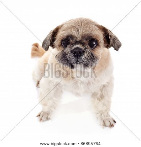 Amusing Small Doggie Of Breed Of A Shih-tzu