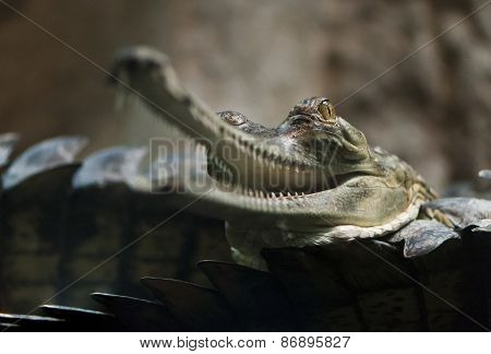 Gharial (also Known As The Gavial)