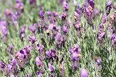 pic of lavender field  - Jagged lavenders - JPG