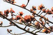 stock photo of tree-flower  - Flowers of red silk - JPG