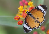 stock photo of monarch butterfly  - Monarch butterfly in natural style surroundings resting on a flower - JPG