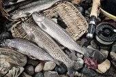 pic of trout fishing  - Vintage concept of trout spilling out of fishing creel with fly reel pole and late autumn leaves on wet river bed stones - JPG