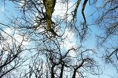foto of canopy  - Looking up into blue sky through canopy of tall trees - JPG