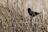 picture of marsh grass  - Male Red - JPG