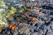 image of crab  - Lightfoot crabs on volcanic rock on Santiago Island in the Galapagos Islands in Ecuador - JPG