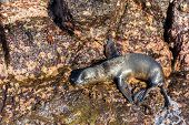 stock photo of sea lion  - Baby sea lion on rocks on North Seymour Island in the Galapagos Islands in Ecuador - JPG