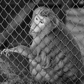 stock photo of caged  - black and white monkey in cage in the zoo - JPG