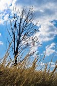picture of prairie  - Dry prairie grass and a tree against blue sky with white clouds at sunny autumn afternoon - JPG
