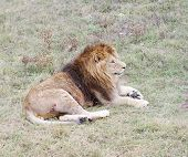 image of lion  - Resting lion - JPG