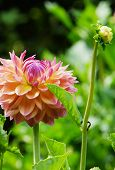 picture of rare flowers  - Beautiful rare dahlias in a botanical garden - JPG