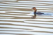 picture of grebe  - Pied - JPG