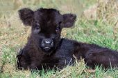 picture of calf cow  - Newborn black scottish highlander calf lying in grass - JPG