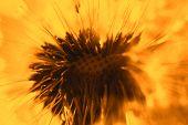 image of dandelion  - Abstract dandelion flower orange background - JPG