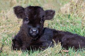 picture of calf cow  - Newborn black scottish highlander calf lying in grass - JPG