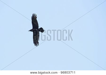 Raven Flight Silhouette