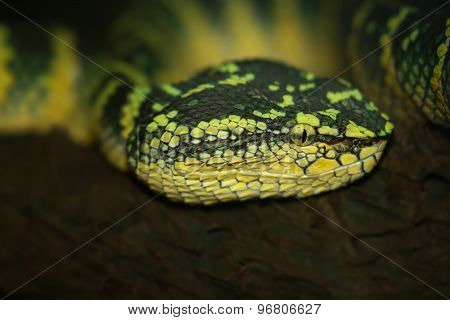 Oriental whip snake, green viper from Borneo