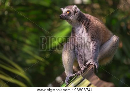 Ring-tailed lemur sun-loving primates sitting among trees