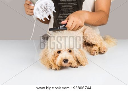 Wet poodle dog fur being blown dry and groom after shower at salon