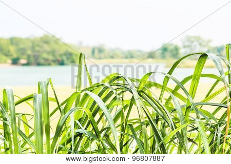 Lemon grass leaf foreground with de-focused lake and sky at background