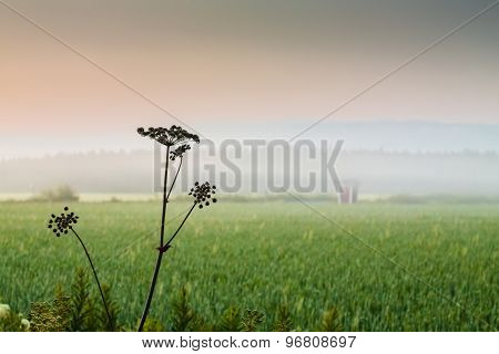 Cow Parsley On A Misty Night