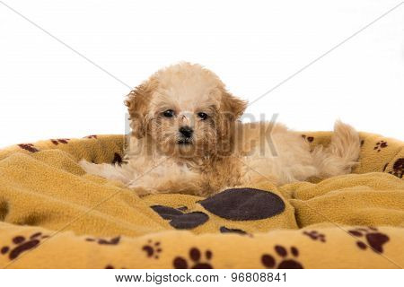 Cute and curious poodle puppy resting on her bed