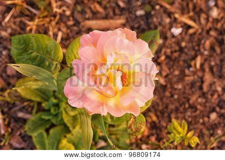 Variegated Pink And Yellow Rose