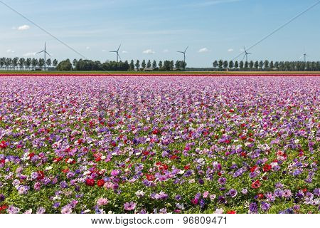 Dutch Field With Purple Blooming Anemones