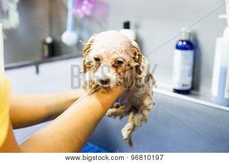Cute tiny poodle puppy dog taking shower on bath basin