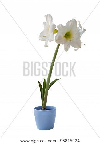 White Hippeastrum In Blue Pot On A White Background