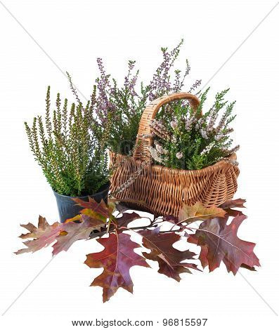 Heather In A Basket And Oak Leaves On A White Background Isolated