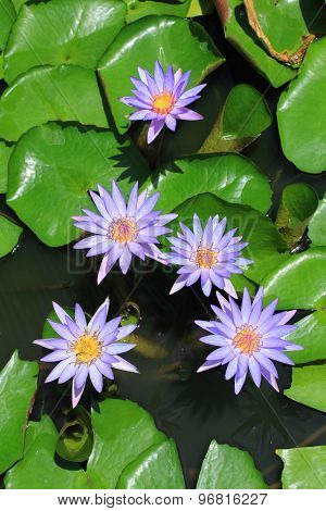 Waterlily On Tropical Garden