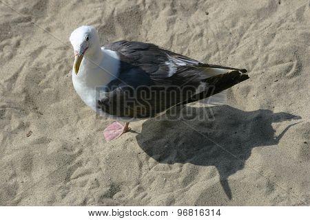 Curious Seagull At The Beach