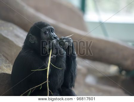 Baby Gorilla Deep In Thoughts
