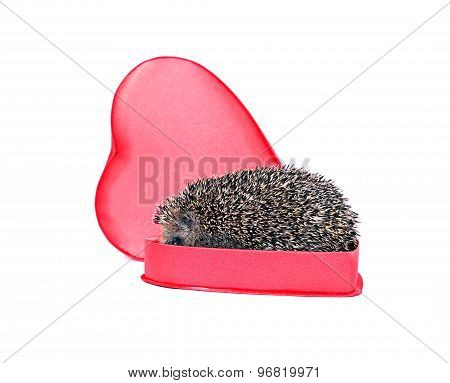 Prickly Hedgehog In A Gift Box In The Shape Of A Heart