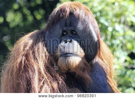 A Close Portrait Of A Male Orangutan