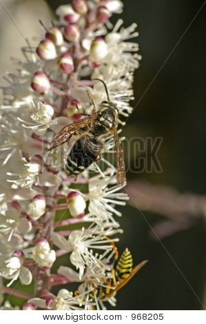 Bees On Cimicifuga Flower