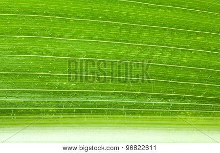 Green Maize Leaf Macro