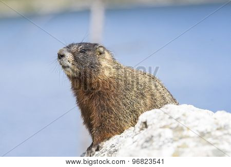 Yellow-bellied marmot (Marmota flaviventris) from the Grand Teton national park. Wyoming, USA
