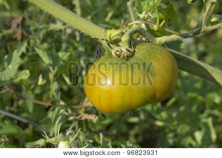 Heirloom Tomato On The Vine With Water Droplets
