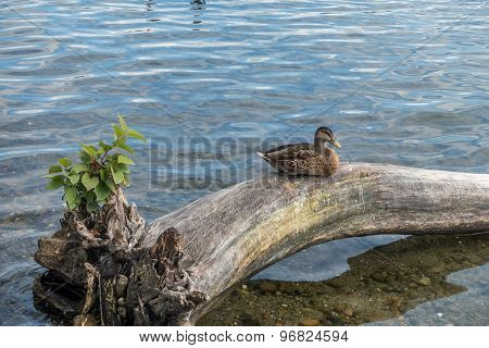 Duck On Dead Tree