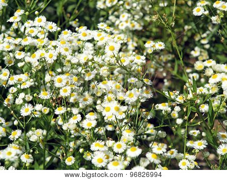 Dense Thickets Of Small White Daisies In A Meadow