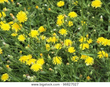 Thickets Of Small Yellow Flowers Picris Rigida