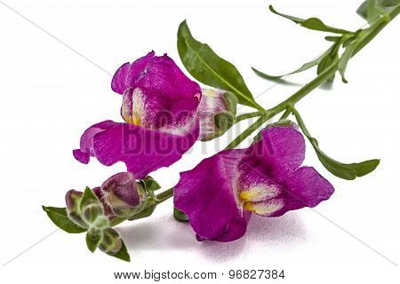 Flowers Of Snapdragon, Lat.antirrhinum, Isolated On White Background