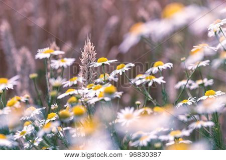 Wheat among daisy flowers